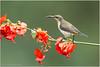 Loten's Sunbird (Aravind Venkatraman) Tags: 2017 av aravind aravindvenkatraman bird birdsofindia canon chennaibirdphotographer indianbirds wildlife wildlifephotographer lotens sunbird lotenssunbird cinnyris lotenius cinnyrislotenius
