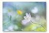 Buschwindröschen (SonjaS.) Tags: blumen blume flower buschwindröschen anemone weis bokeh fund wald forest frühling spring dreams