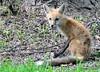DSC_0745 (RachidH) Tags: fox renard vulpes foxcub renardeau redfox renardroux vulpesvulpes backyard frontyard wildlife sparta newjersey nj rachidh nature