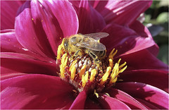 A 'Pollinated' Pollinator (Mary Faith.) Tags: bee insect honey pollen