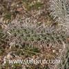 Opuntia spinosior (SUBENUIX) Tags: cactaceaeopuntias opuntiaspinosior suculentas subenuix subenuixcom planta suculent suculenta botanic botanical