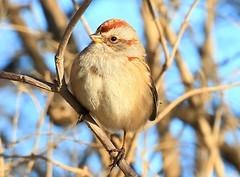 American tree sparrow near Lime Springs IA 854A2852 (lreis_naturalist) Tags: american tree sparrow lime springs howard county iowa larry reis
