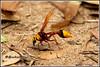 7438 - potter wasp- mason wasp (chandrasekaran a 47 lakhs views Thanks to all) Tags: potterwasp masonwasp insects nature india chennai canoneos760d tamronsp150600mmg2