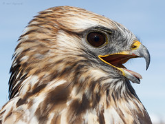 Rough-legged Hawk (npaprock) Tags: buteolagopus buteo roughleggedhawk hawk gpsgsm telemetry backpack utah winter ecotone saker raptor research hawkwatch