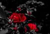 rosa020118_1 (robertolamacchia) Tags: rose passion passione fiore