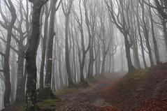 Il sentiero che dal passo della Calla arriva a lambire la riserva integrale di Sasso Fratino (LLauraNLS) Tags: trekking hiking sentierodelleforestesacre forestecasentinesi forest foliage foresta dogtrekking appennino landscape paesaggi wood toscana tuscany mountains montagne nature italia italy riservaintegrale sassofratino