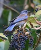 Guarding his berries! (avilacats) Tags: blueberries popofcolor bluetheme atascaderolakeca westernbluebird