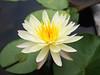 Nymphaea 'First Love' HxT Waterlily บัวลูกผสมข้ามสกุลย่อย 'เฟิร์สเลิฟ' 5 (Klong15 Waterlily) Tags: hxtwaterlily waterlily isgwaterlily nymphaea wahgarden lotusflower firstlovewaterlily บัว ดอกบัว บัวลูกผสมข้ามสกุลย่อย บัวผัน บัวฝรั่ง