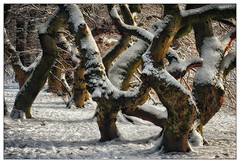 Tanzende Bäume – dancing trees (frodul) Tags: explore buche süntelbuche teufelsholz badnenndorf winter schnee baum zweig natur besonderheit allee wald landschaft dancing tree seitenlicht niedersachsen deutschland