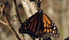 Seeking winter sun (TJ Gehling) Tags: insect lepidoptera butterfly nymphalidae monarch monarchbutterfly danaus danausplexippus overwintering albanyhill albanyca