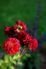 Dahlia rouge carmin (mamietherese1) Tags: itsallaboutflowers languageofflowers earthmarvels50earthfaves phvalue world100f