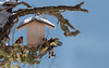 _JHS8835 (Bribes de terre) Tags: faune oiseau hiver chardonneret