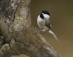 Carolina Chickadee (AllHarts) Tags: carolinachickadee backyardbirds memphistn naturesspirit thesunshinegroup worldwildlifeshowcase feathersbeaks ourwonderfulandfragileworld naturescarousel ngc npc