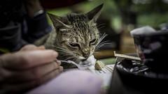 Coffee Cat (voxpepoli) Tags: hanoi hànội vietnam vn cat coffeeshop coffee capuccino straycat tomcat streetcat food randagio gatto foam