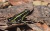 Three-striped Poison Frog (tickspics ) Tags: amazonbasin frogsandtoads lowlandrainforest manú peru southamerica threestripedpoisonfrog ameeregatrivittata manúnationalpark manúbiospherereserve tropicalrainforest anura dendrobatidae
