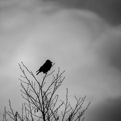 Die Krähe / The Crow (p.schmal) Tags: olympuspenf hamburg farmsenberne krähe erle