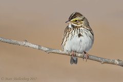 Savannah Sparrow (Matt Shellenberg) Tags: savannah sparrow savannahsparrow riverlands migratory sanctuary riverlandsmigratorybirdsanctuary