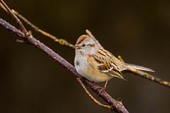 American Tree Sparrow (JohnReynolds2012) Tags: vancouver 2017 wildlife winter bird birds canada inaturalist animals bc coquitlam britishcolumbia ca