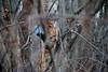 Picchio nero (carlo612001) Tags: picchio picchionero bosco natura uccelli uccello animali wildlife woodpecker black blackwoodpecker wood nature birds bird animals