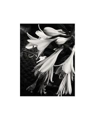 BEAUTY (Ageeth van Geest) Tags: 7dwf framed flower bw blackandwhite monochrome border iphone