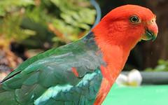Australian king parrot (Poytr) Tags: sydneyaustralia kingparrot australiankingparrot bird parrot green red alisterusscapularis macro chatswood nsw australia psittaciformes psittacines psittacoidea alisterus