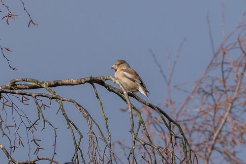 Hawfinch-