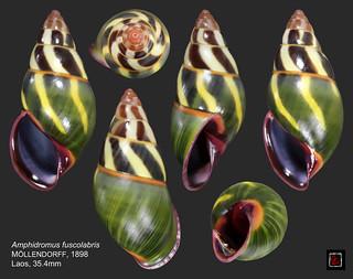 amphidromus fuscolabris laos 35mm4