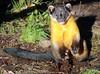 Yellowthroated marter Ouwehands BB2A4133 (j.a.kok) Tags: marter maleisebontemarter yellowthroatedmarter asia azie maleisie malayan animal ouwehands mammal zoogdier dier