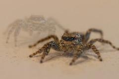 2 X 8 !  Double exposure - MM (Elke Bosma-Prins) Tags: macromondays doubleexposure spider harry jumping macro happyspider lotsofeyes