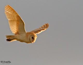 Barn owl back light
