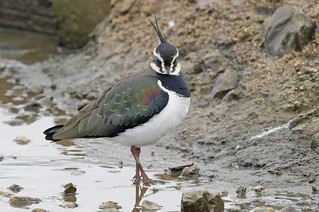 LAPWING....Slimbridge....Best on large.