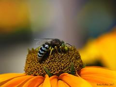 2017 07 #4152   Sand Wasp Macro!! (KatieKal) Tags: flower stamen sandwasp petals yellow canon60d canonmacrolens