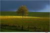 fenced sunspot (Lutz Koch) Tags: baum tree zaun fence idsteinerland idstein taunus hessen elkaypics lutzkoch lonetree herbst autumn licht light sunspot sonnenstrahl wiese weide meadow