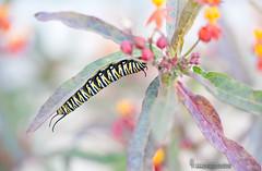 Oruga de Monarca y Asclepia curassavica (Lucas Gutiérrez) Tags: danausplexippus orugademonarca pueblonuevo motril granada insectos mariposas granadanatural