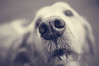 Whats that smell? (jim.cotter) Tags: dog whiskers nose goldenretriever smelling