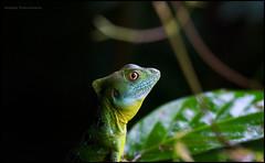 Female Jesus Christ lizard (G. Postlethwaite esq.) Tags: costarica jesuschrist tortaguero centralamerica eye female lizard