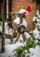 8075 (1 of 1) (sallyjane6) Tags: snow snowyday newlife buds winter bedford holly macro closeup