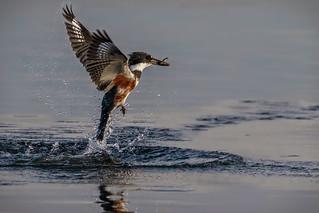 Emergence of the Kingfisher
