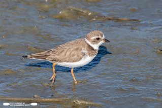 Piping Plover In The Mud Flats