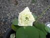 Sacred Lotus 'White Peony'  บัวหลวง 'ไวท์ พีโอนี่' 2 (Klong15 Waterlily) Tags: ไวท์พีโอนี่ whitepeony sacredlotus lotus nelumbo nelumbonucifera บัวหลวง บัวหลวงขนาดเล็ก บัวหลวงสีขาว