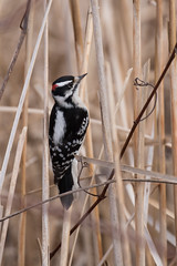 4413 (Eric Wengert Photography) Tags: downywoodpecker picoides picoidespubescens bird woodpecker