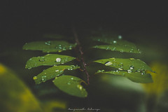 Nature Abstract-1 (acharya_mr) Tags: raindrops leafs green nature naturephotography abstract