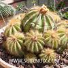 Parodia magnifica (SUBENUIX) Tags: cactaceae parodiamagnifica suculentas subenuix subenuixcom planta suculent suculenta botanic botanical