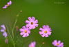 Greeting Card... (Anirban Sinha 80) Tags: nikon d610 fx 500mm f4 ed vrii n bokeh flower honeybee stages natural