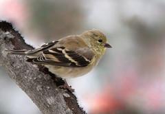 Chardonneret (Marie-Helene Levesque) Tags: oiseau abitibi valdor côtede100pieds chardonneret mariehélène mariehelene fabuleuse
