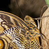 Caligo Memnon (Ouwesok) Tags: canoneos30d tamron2890mm sigmaem140dg caligomemnon uilvlinder vlinder insect vlindertuin burgersmangrove