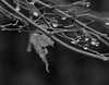 with no colour (annapolis_rose) Tags: japanesemaple bw waterdroplets