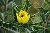 Argemone mexicana  アザミゲシ (ashitaka-f studio k2) Tags: flower yellow red argemone mexicana アザミゲシ ケシ科 papaveraceae