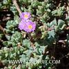 Lampranthus deltoides-2 (SUBENUIX) Tags: aizoaceae lampranthusdeltoides suculentas subenuix subenuixcom planta suculent suculenta botanic botanical