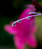 On a Rainy Day. (Omygodtom) Tags: macrodreams macro raindrop water tamron tamron90mm bokeh flower flickr refraction red ngc usgs nikkor natural nature nikon digital d7100 dof diamond contrast